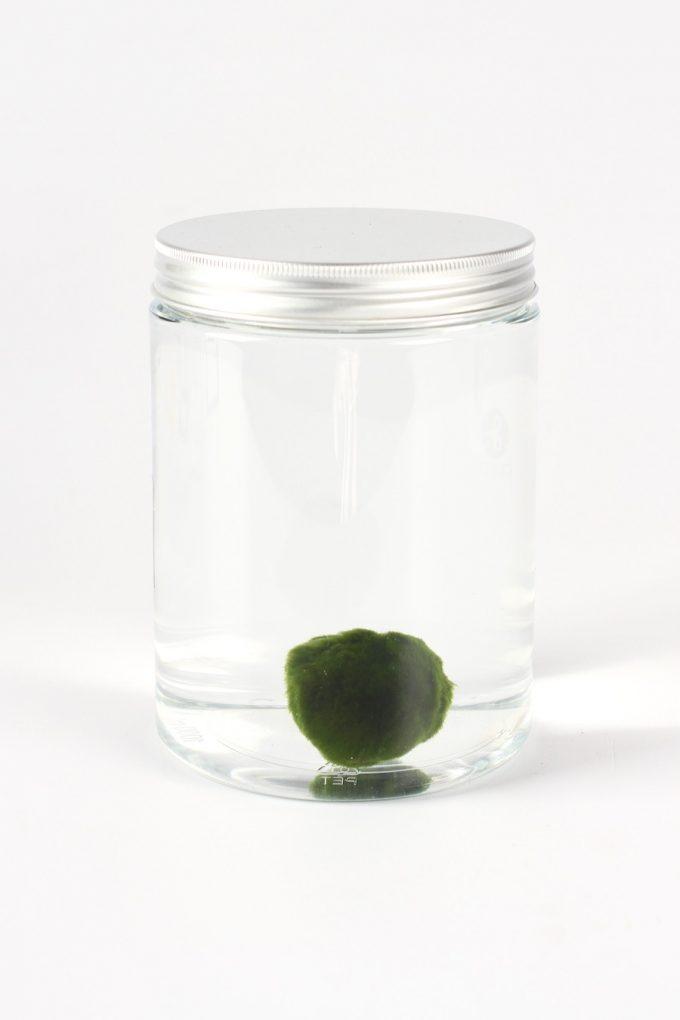 marimo alga aquario